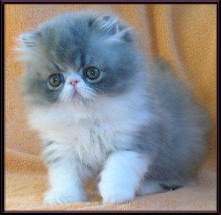 Персидские котята. Ваны, арлекины, биколоры