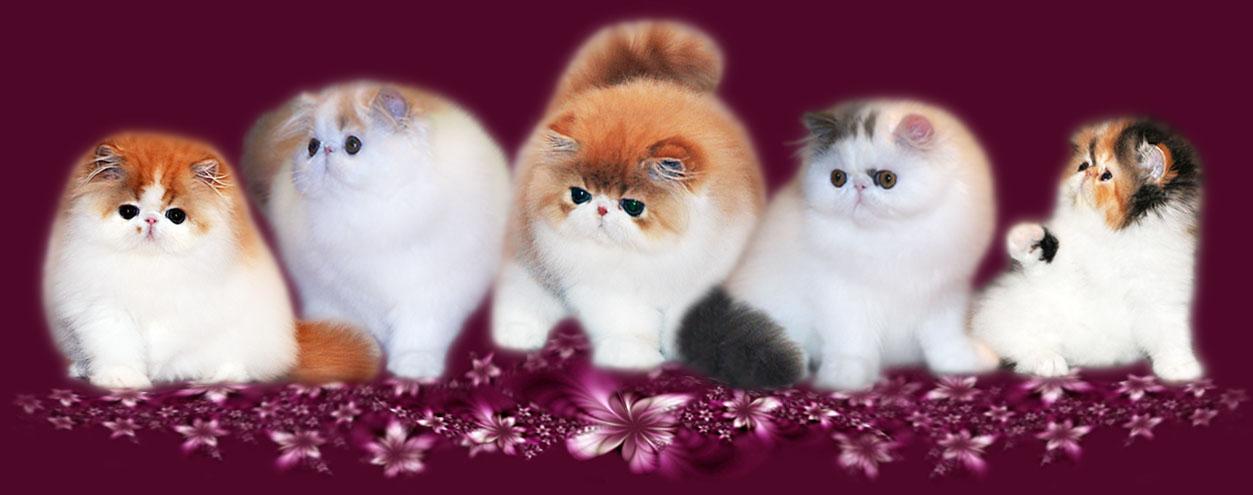 Toy Tricksy Persidskie Koshki Persian Cats